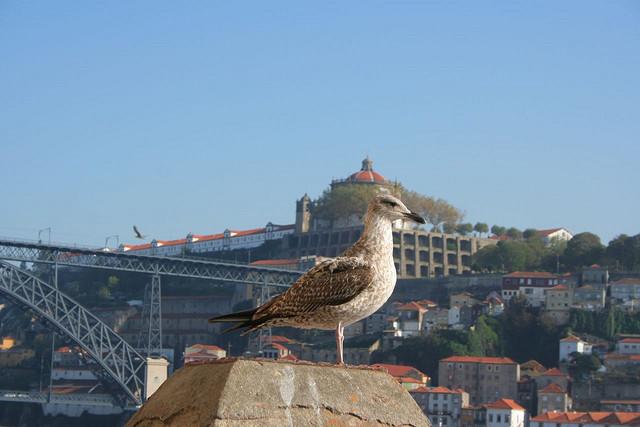 seagull-porto